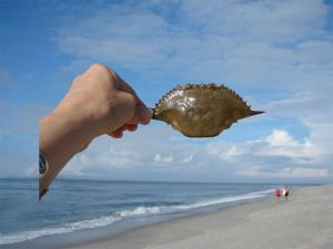 Hand with Horseshoe Crab